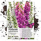 Seed Needs, Gloxiniaeflora Foxglove (Digitalis purpurea) 5,000 Seeds