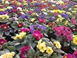 50 MIXED COLORS ENGLISH PRIMROSE Primula Vulgaris Flower Seeds