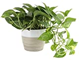 Costa Farms Devil's Ivy Golden Pothos 10-Inches Tall Live Indoor Plant, 6, White