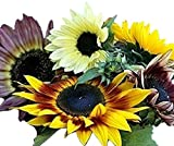 Autumn Beauty Sunflower Seeds - Quick Blooming Non GMO 100 Seeds