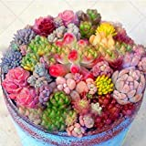 Mixed Colored 200pcs/bag Rare Beauty Succulents Seeds Garden and Home Bonsai Easy to Grow Flower...