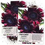 Seed Needs, Procut Red Sunflower (Helianthus annuus) Twin Pack 40 Seeds Each