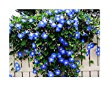 250 Heavenly Blue Morning Blooming Vine Seeds - Wonderful Climbing Heirloom Vine - Morning Glory Non...