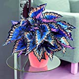 100pcs Colored Grass Seeds, Coleus Seeds Bonsai Potted Perennial Plant Flower Seeds for Home Garden...