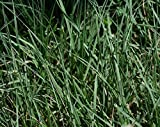 1 Pound Bulk Buffalograss