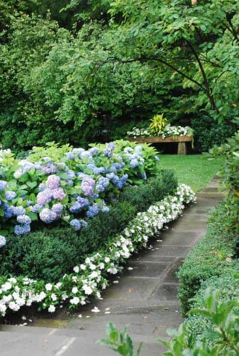 Blue Hydrangeas, Boxwood, and White Impatiens - flowers-plants-planters