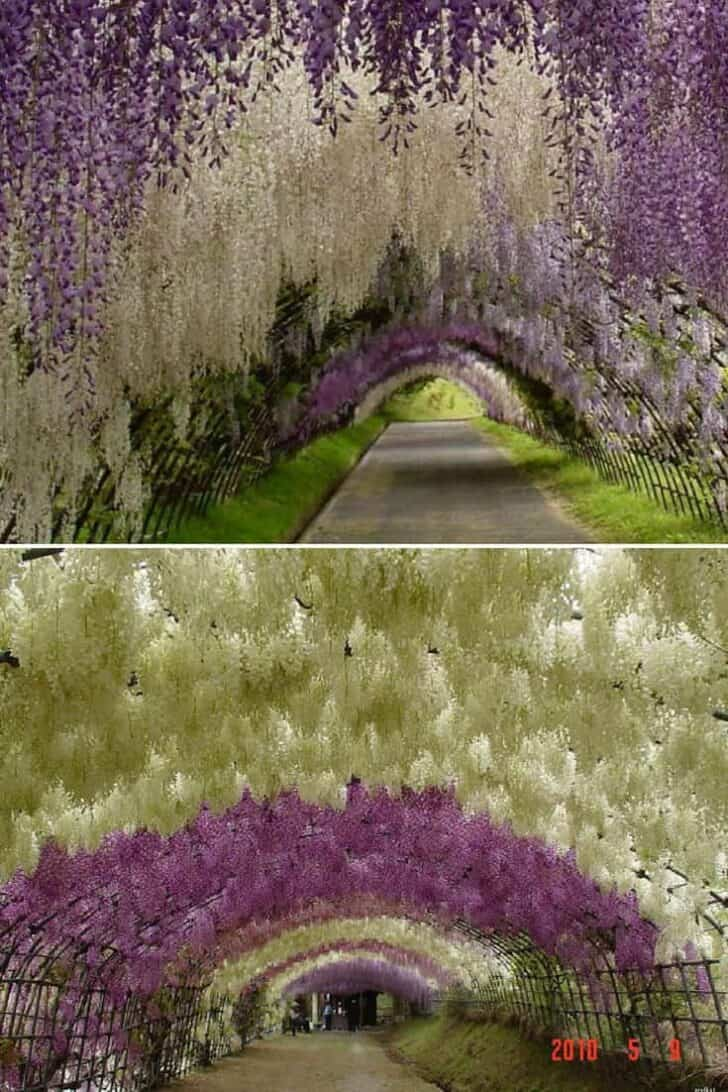Flower Tunnel in the Kawachi Fuji Garden