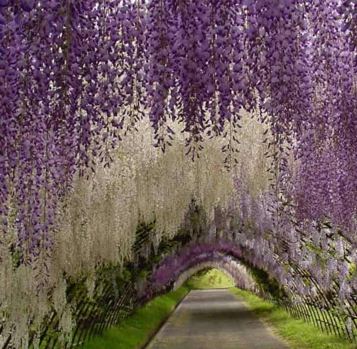 Flower Tunnel in the Kawachi Fuji Garden - landscaping