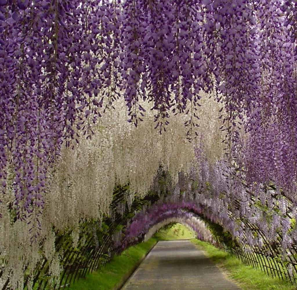 kawachi fuji garden 2 Flower tunnel in the Kawachi Fuji Garden in garden art  with japanese garden