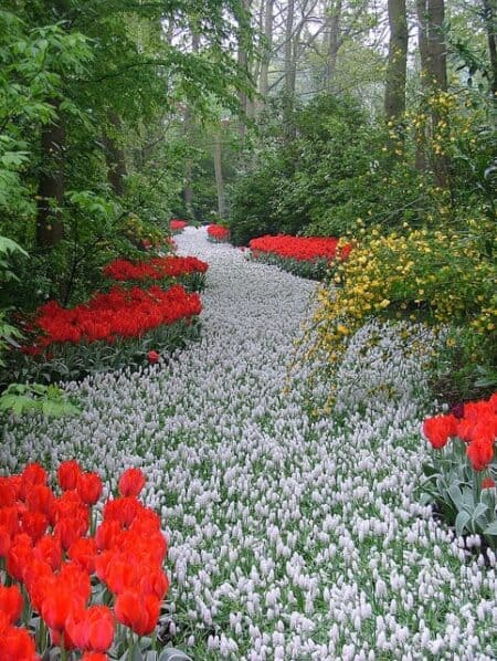 A Path of White Flowers in the Keukenhos Garden (Netherlands) 5 - Flowers & Plants - 1001 Gardens