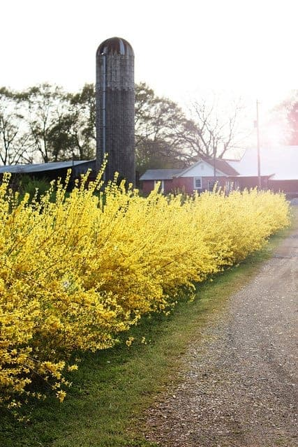 Forsythia Blooming and Decoration Ideas Flowers, Plants & Planters
