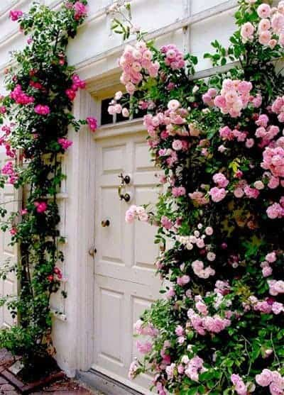 Climbing Roses - flowers-plants-planters