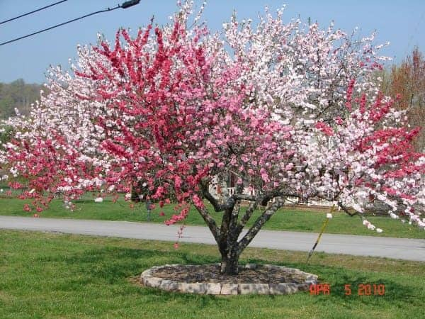 5 In 1 Peach Tree 1001 Gardens