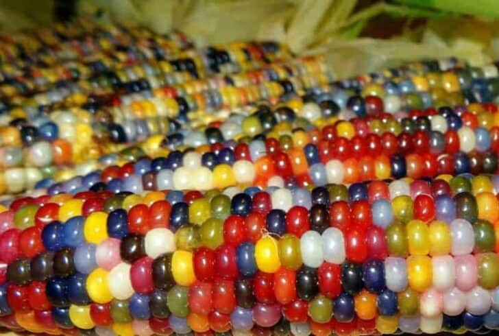 Glass Gem Corn (Also Called Rainbow Corn) Garden Decor