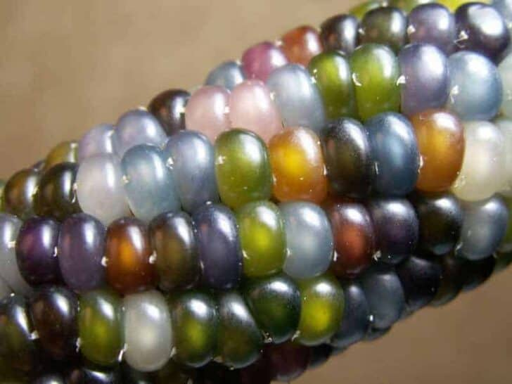 Glass Gem Corn (Also Called Rainbow Corn) - garden-decor