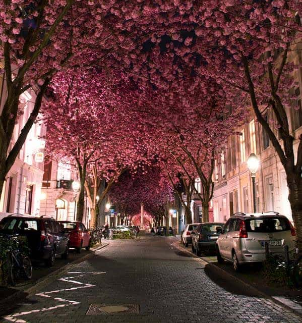 Cherry Blossom Street Landscape Landscapes