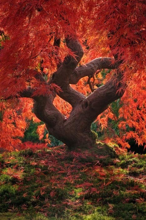 Japanese Maple Leaf Tree Landscape Landscapes