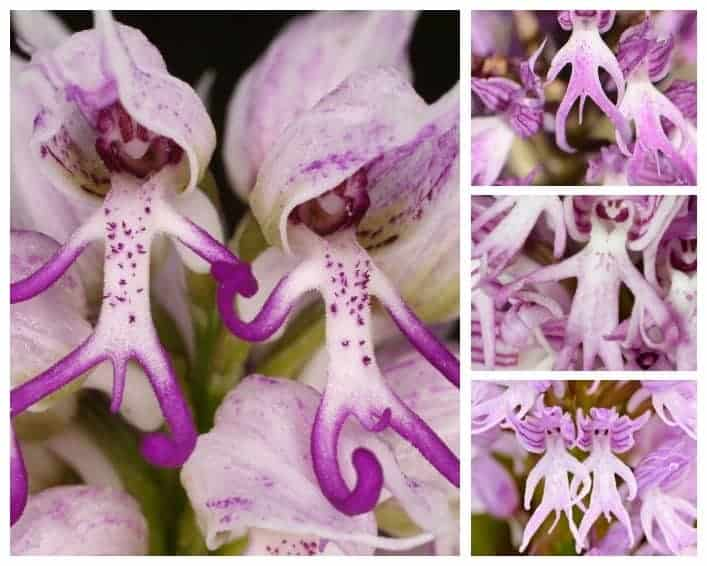 Amazing Orchis Italica Flower Naked Man Orchid Plants