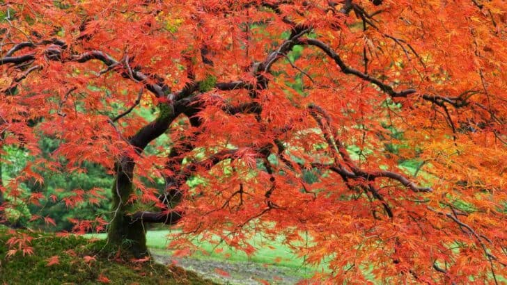 japanese_maple_portland_japanese_garden_oregon-1920x1080