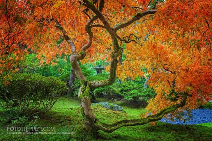 maple-trees-of-portland-japanese-garden