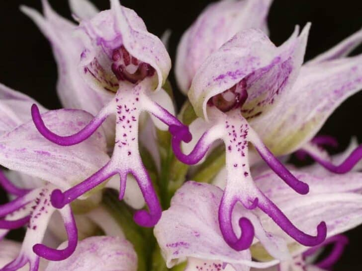 Amazing Orchis Italica Flower: Naked Man Orchid Flowers, Plants & Planters