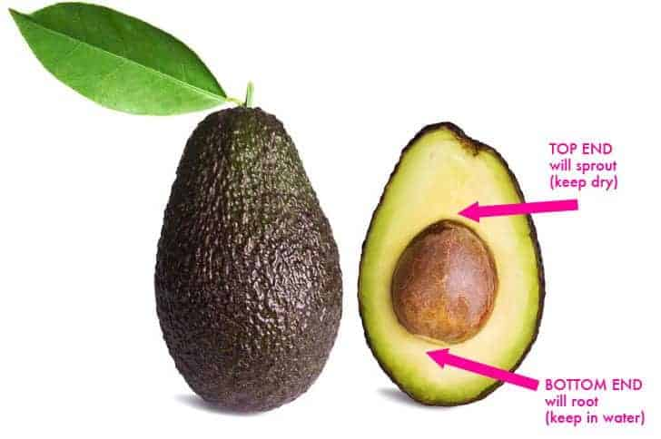Avocado-Pit-Orientation