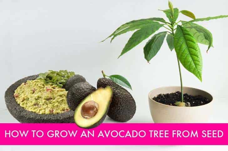 Diy: How To Grow Your Own Avocado Tree Flowers, Plants & Planters