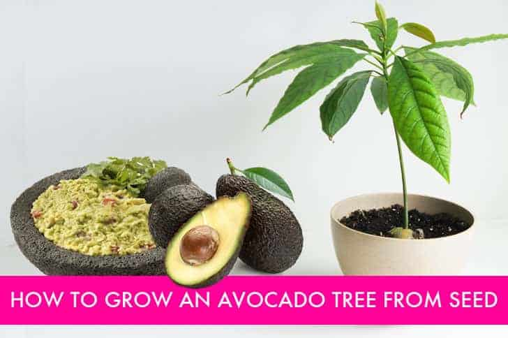 You Look Like An Avocado Quote: Diy: How To Grow Your Own Avocado Tree • 1001 Gardens