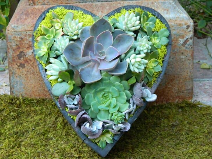 Succulent Heart for Valentine's Day - garden-decor