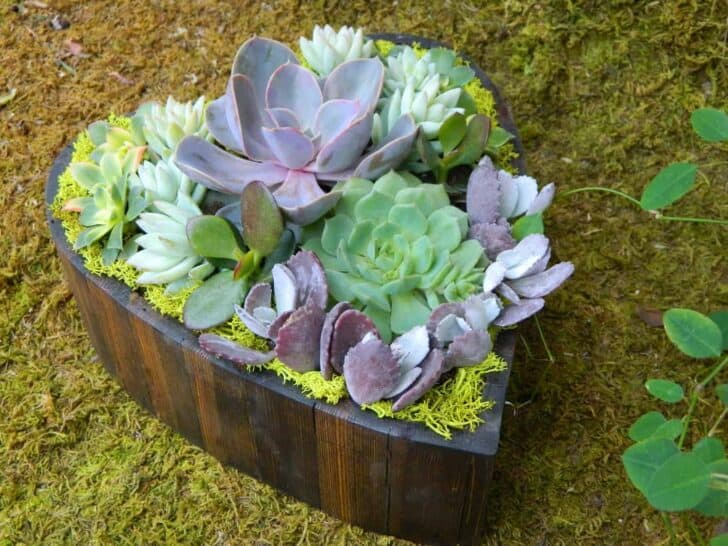 Succulent Heart for Valentine's Day Garden Decor