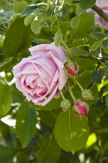 Old Rose Flowers Garden Landscape - landscaping