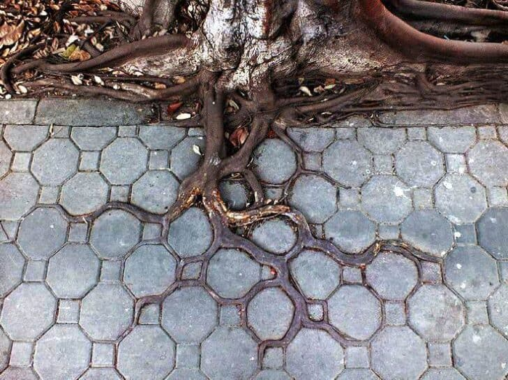 Beautiful Tree Roots Vs Concrete Garden Decor