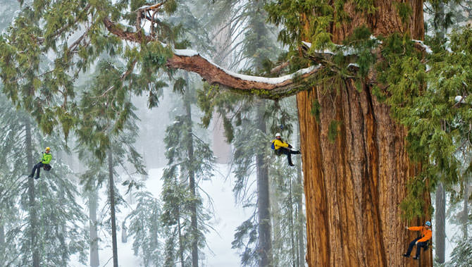 The President Giant Sequoia: 2nd Largest Tree in the World - flowers-plants-planters