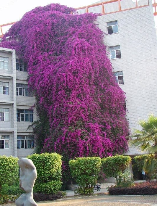 World Biggest Bougainvillea in Nanning, China Flowers, Plants & Planters