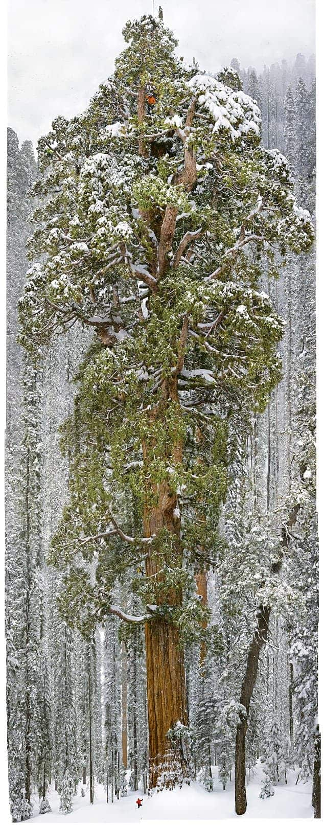 The President Giant Sequoia: 2nd Largest Tree in the World Flowers, Plants & Planters