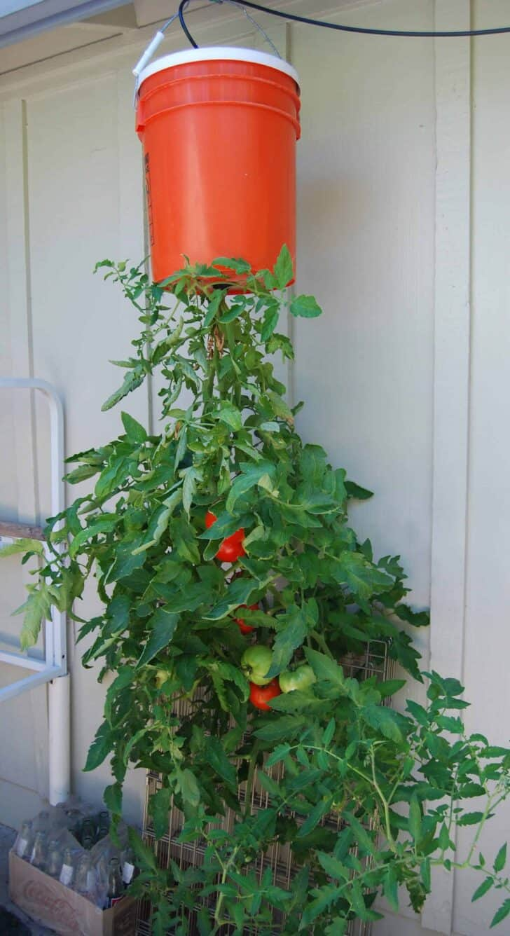 DIY: Homegrown Tomatoes Upside Down Planter 4 - Flowers & Plants - 1001 Gardens