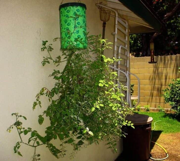 DIY: Homegrown Tomatoes Upside Down Planter 5 - Flowers & Plants - 1001 Gardens