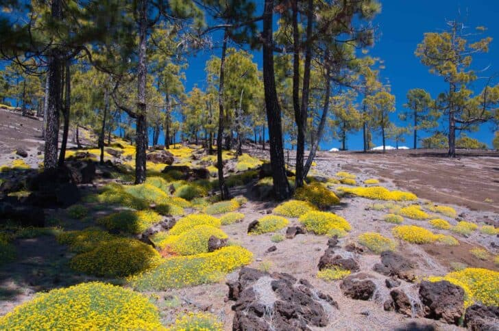 Blooming-flower-tenerife-teide-01