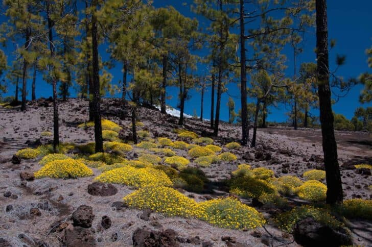 Yellow Flowers Blooming in Teide National Park  (Tenerife, Canary Islands) - flowers-plants-planters