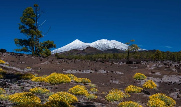 Blooming-flower-tenerife-teide-04