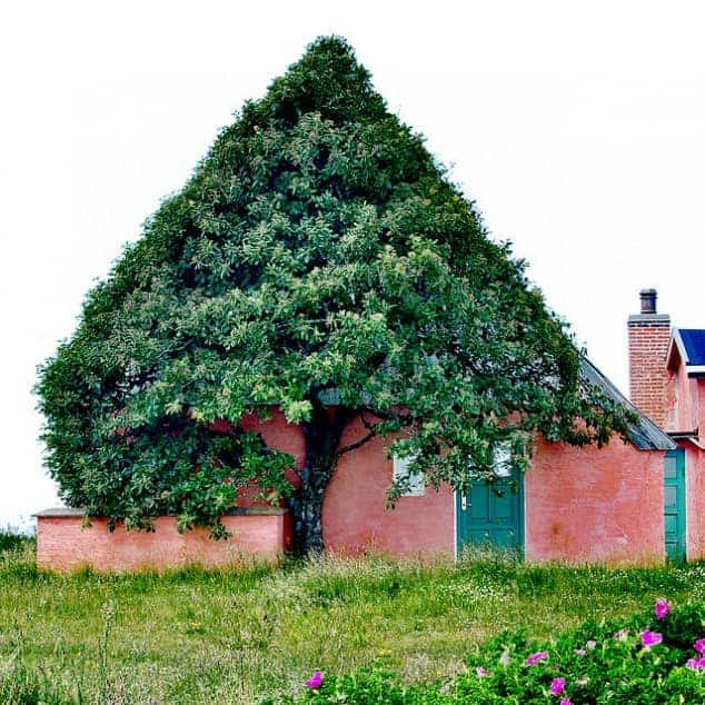 House Shaped Beautiful Tree to Shelter Itself from Wind - landscaping