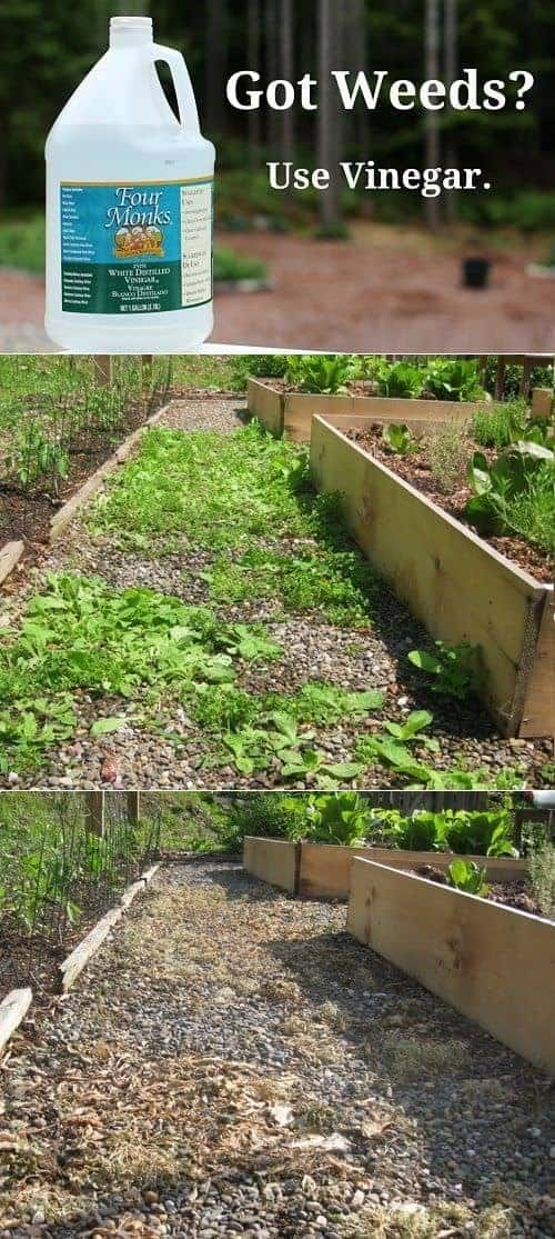 How To Kill Weeds Using Vinegar Instead Of Roundup Guerrilla & Urban Gardening