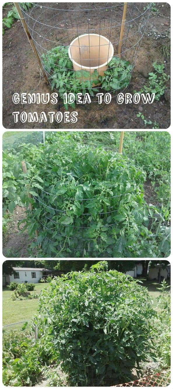 Genius Idea To Grow Tomatoes 1 - Flowers & Plants
