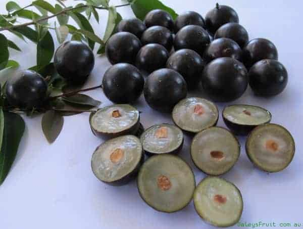 Jaboticaba-Large-Leaf-163