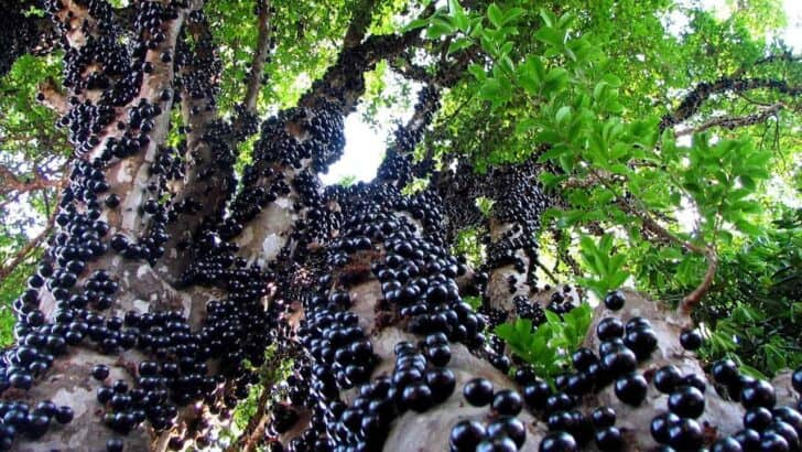 Jabuticaba - the Beautiful Tree That Grows the Fruit on Its Trunk - flowers-plants-planters