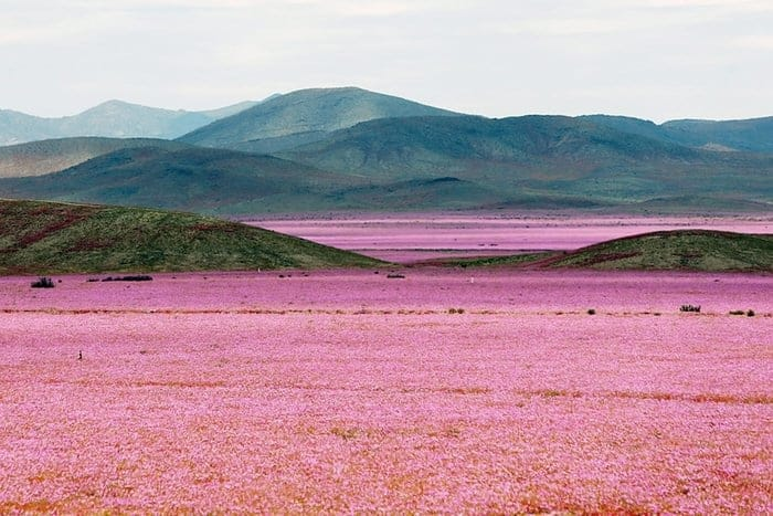 How Heavy Rain Falls Can Transform a Desert into a Giant Meadow Landscape - landscaping, flowers-plants-planters