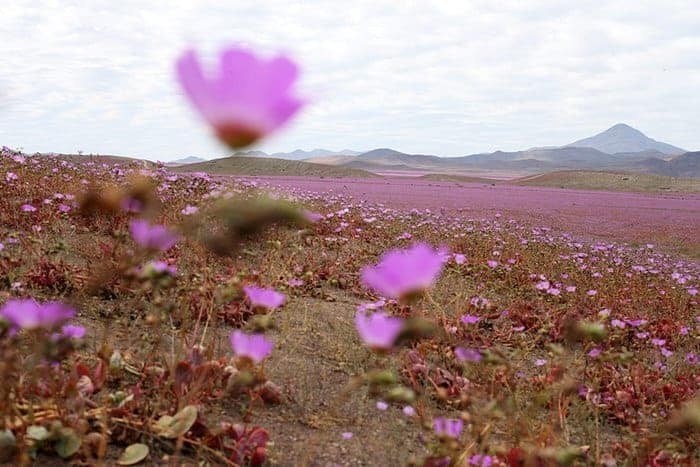 How Heavy Rain Falls Can Transform a Desert into a Giant Meadow Landscape Flowers, Plants & Planters Landscapes
