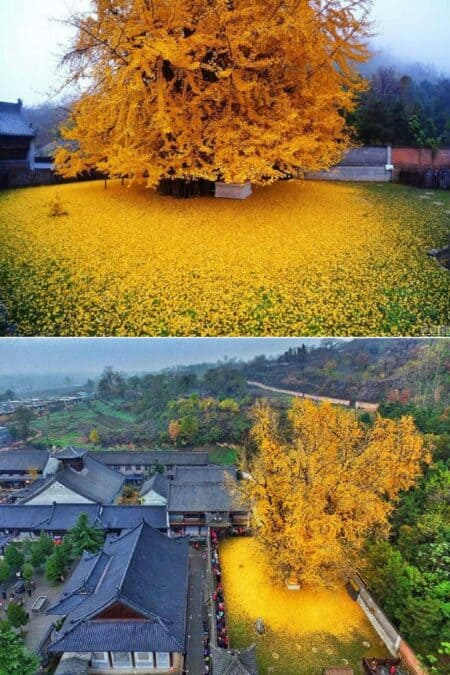 Spectacular Ocean Of Golden Leaves Landscape From A 1,400-year-old Ginkgo Beautiful Tree