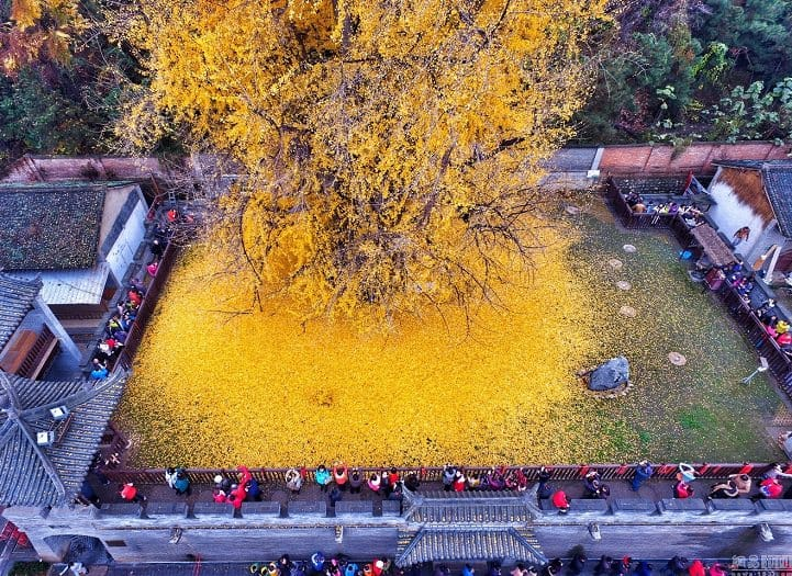 Spectacular Ocean Of Golden Leaves Landscape From A 1,400-year-old Ginkgo Beautiful Tree Landscapes