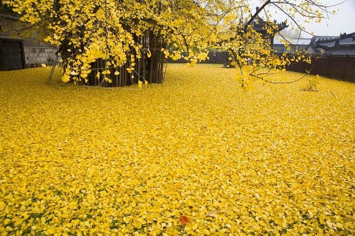 Spectacular Ocean Of Golden Leaves Landscape From A 1,400-year-old Ginkgo Beautiful Tree - landscaping